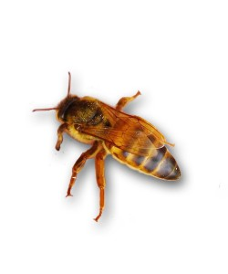 Бджолина матка українська степова (під замовлення 2021 рік)