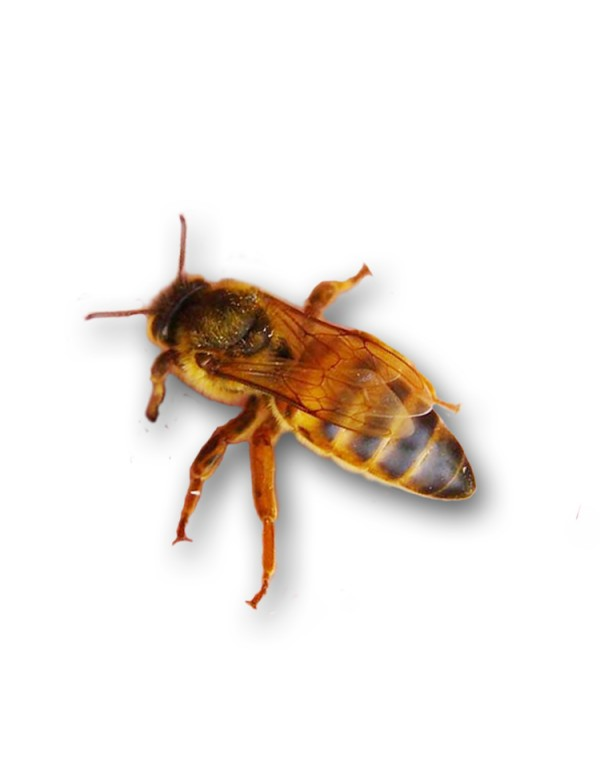 Бджолина матка українська степова