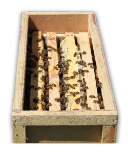 Бджолопакети породи українська степова