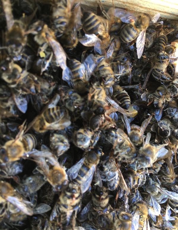 Бджолиний підмор 5кг (опт)